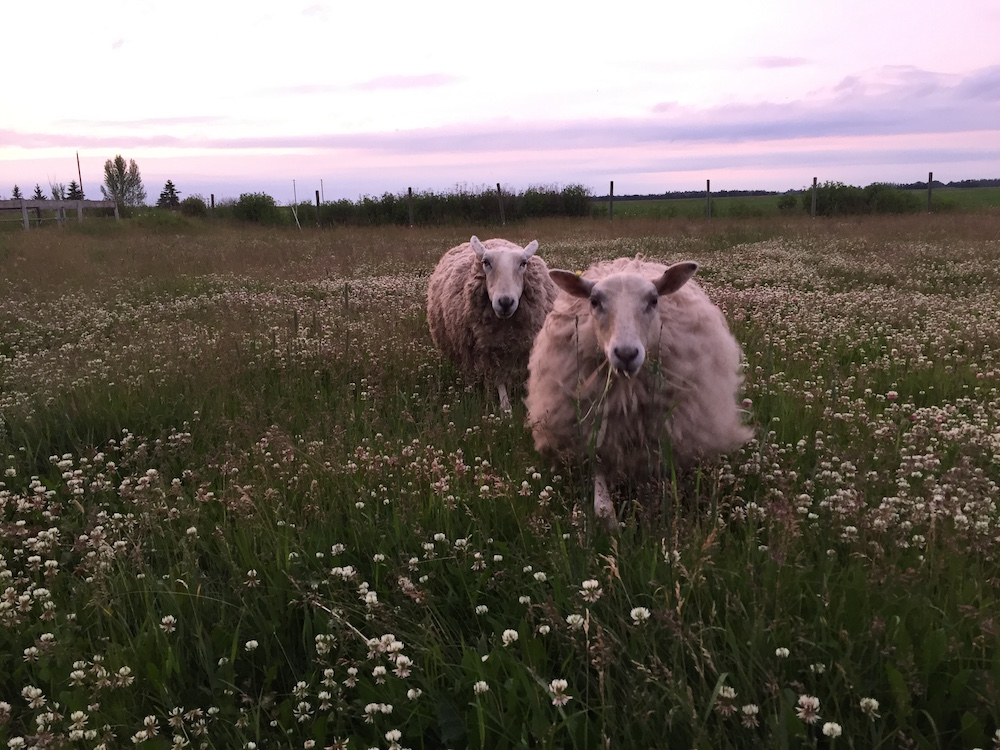 Two white sheep approach through a field of clover.