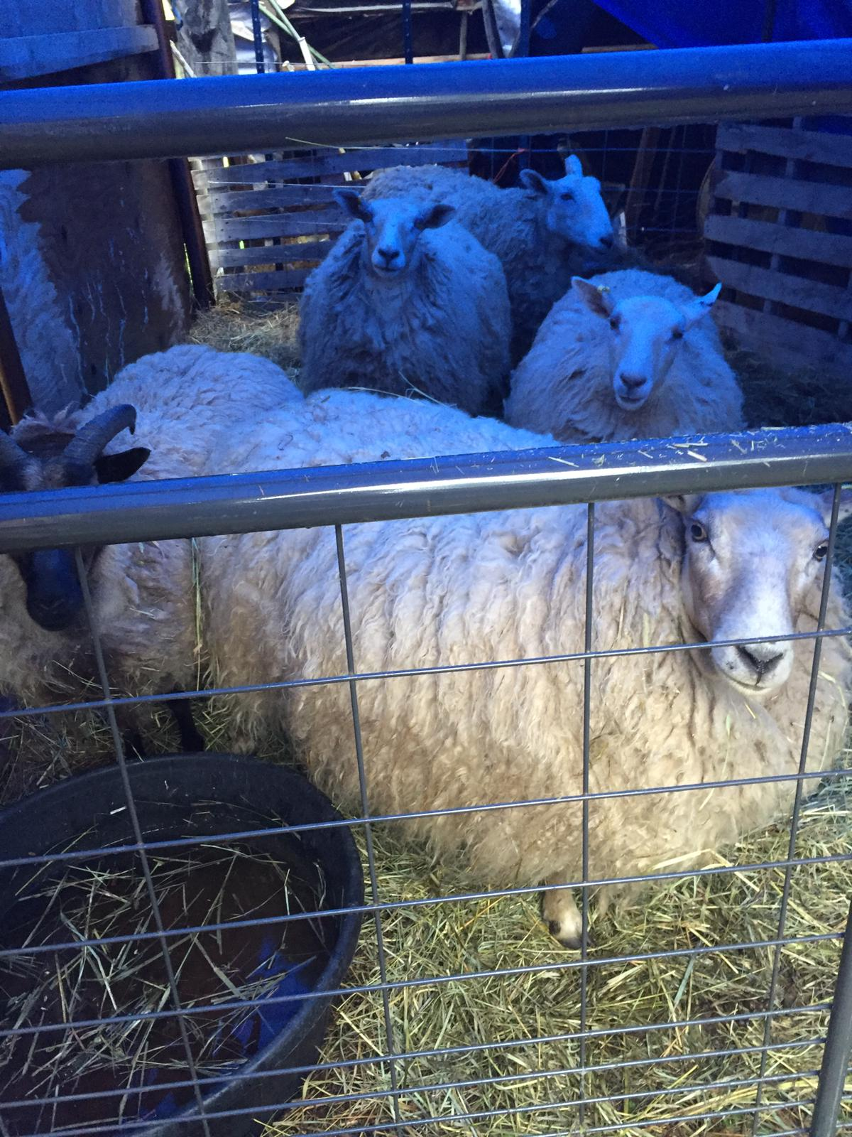 Five sheep in a makeshift pen, with a blue hue from light coming through a tarp.